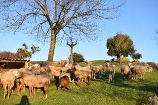 Publicado o importe da axuda a ovino e caprino por dereitos especiais