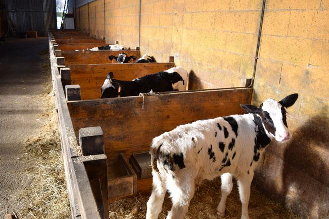 As 5 claves do benestar animal na recría de gando vacún