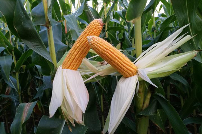 Recomendacións técnicas para elixir o ciclo e a variedade de millo máis adecuada