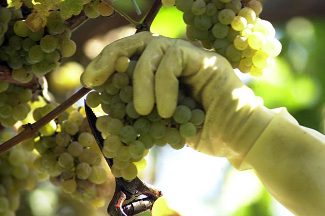 Últimas recomendacións para o coidado da viña antes da vendima