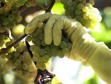 ¿Cal é o punto óptimo de madurez da uva para a vendima?