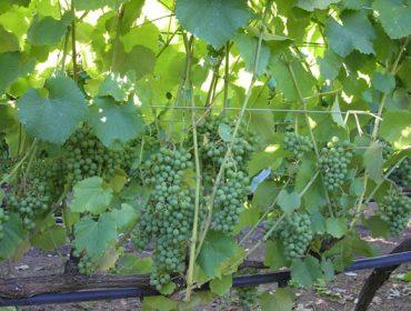 A Evega logra cepas de Albariño melloradas en produción e grao alcohólico