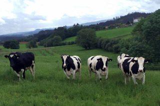 Produción de carne de vacún maior en Galicia (parte I)