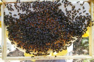 Manexo das colmeas sen tratamentos: unha apicultura alternativa