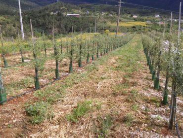 A Asociación de Produtores de Aceite e Oliva de Galicia celebra xunta xeral este sábado