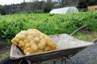 Polilla de la patata: La Xunta pide colaboración ciudadana para identificar a los que plantan en las zonas afectadas