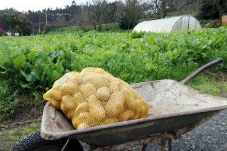 Couza guatemalteca: O SLG demanda que a Xunta informe cando se levantará a prohibición de plantar pataca