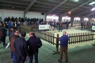 Media de 2.075 euros na poxa de gando Frisón de Chantada
