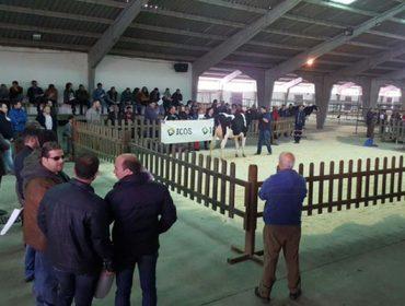 Media de 2.075 euros en la subasta de ganado Frisón de Chantada