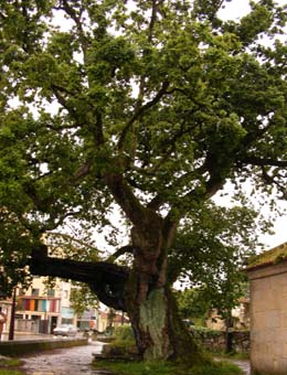 Veintidós municipios de Pontevedra cuentan con árboles catalogadas como singulares