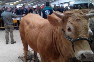 Adxudicadas 5 xovencas de Acruga en 1.800 euros animal