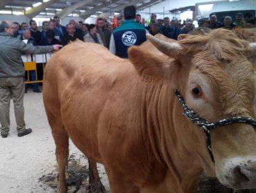 Acruga celebra no Valadouro a primeira poxa de rubia galega organizada na Mariña