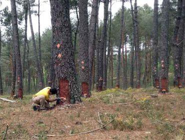Lourizán confirma la potencialidad del resinado de pinos en Galicia