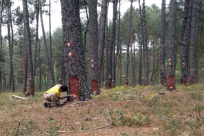 O resinado aséntase como actividade complementaria no monte galego