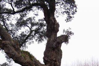 Vintedous concellos de Pontevedra contan con árbores catalogadas como senlleiras