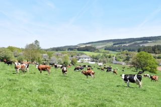 Lactalis prevé duplicar para 2020 a recollida de leite ecolóxico en Galicia
