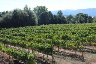 Proxecto para recuperar a variedade de uva autóctona Tinta Castañal