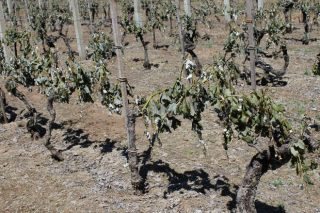 Os viticultores do Ribeiro manifestaranse en demanda de axudas polas xeadas
