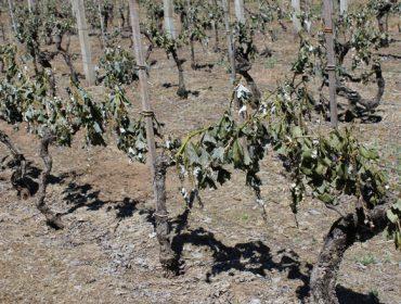 Sistemas de protección de los viñedos frente a la helada