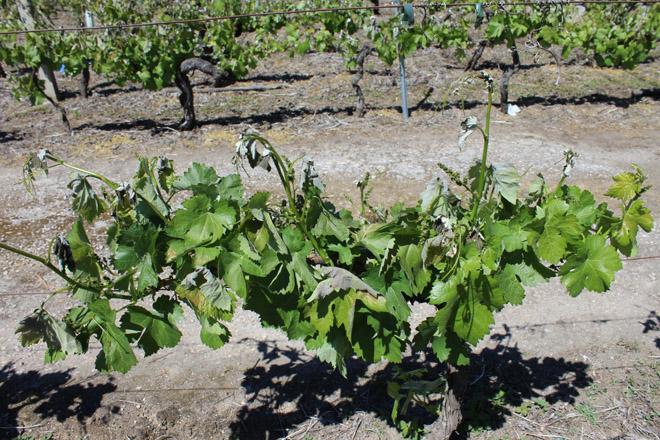 Jornada sobre métodos de protección del viñedo frente a las heladas