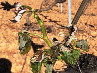 Xornada sobre métodos de protección do viñedo fronte ás xeadas