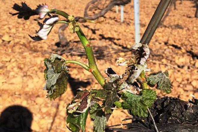 O día 25 finaliza o prazo para contratar o seguro de uva con cobertura fronte a xeada