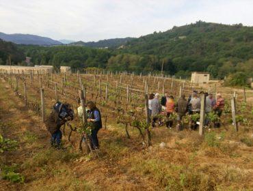 A Evega asesora a máis de 70 viticultores nos traballos de repoda das vides afectadas pola xeada
