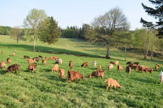 As vendas de cordeiro e cabrito baixo mínimos ás portas da tempada alta
