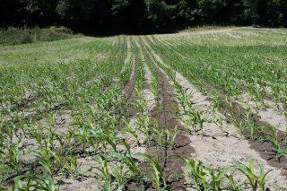 Xornada de demostración sobre o efecto da rega por goteo no millo forraxeiro