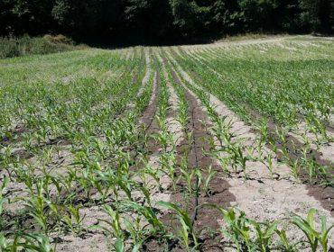 El regadío por goteo del maíz aumenta su rendimiento hasta en un 80%