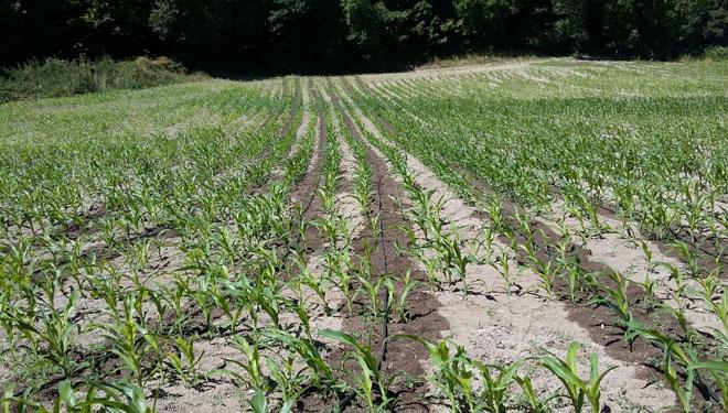 A rega do millo forraxeiro por goteo aumenta o rendemento ata nun 80%