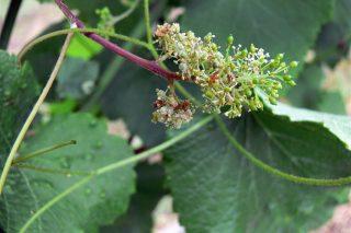 Advirten de que coas treboadas multiplícase o risco de mildeu no viñedo