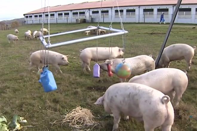 Galicia incrementa a súa cabana porcina e tamén o número de ganderías