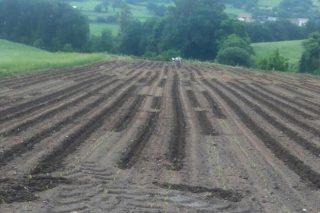 Novos ataques dos xabaríns ás plantacións de millo no Deza e na Estrada