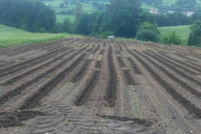 Nuevos ataques de los jabalís a las plantaciones de maíz en O Deza y en A Estrada