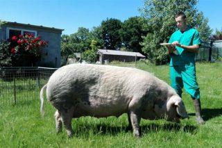 """""""A mellor maneira de conservar o Porco Celta é facendo que sexa rendible crialo"""""""