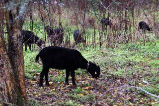 Cabras da raza negra serrana.
