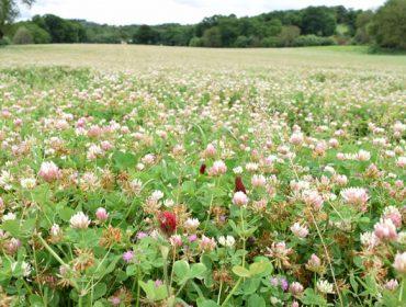 Recomendacións para a implantación e manexo de praderías de raigrás e leguminosas
