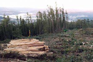 certificacion forestal eucalipto
