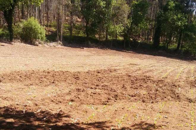 Daños del jabalí en la siembra del maíz en Mesía