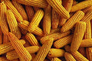 ¿Deben temer os gandeiros unha suba do prezo do millo?