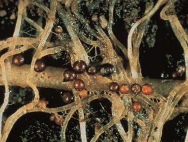 Recomendacións para o control do nematodo da pataca