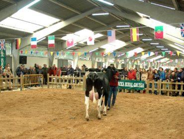 Media de 1.918 euros en la subasta de ganado frisón de Sarria