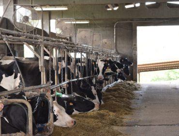 Medidas para combater o estrés por calor en vacún de leite