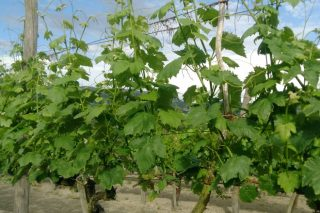 Programa da I Semana Vitivinícola de Galicia e do I Encontro de Viticultura Galicia-Norte de Portugal