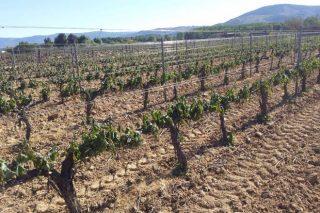 Nova liña de axudas da Xunta a produtores de uva, castaña e pataca afectados polas xeadas e as saraibadas