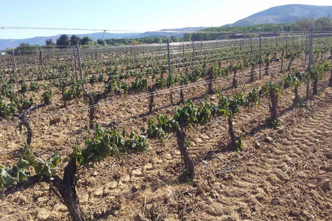 Propostas de sindicatos e Consellos Reguladores para mellorar os seguros agrarios en viñedo