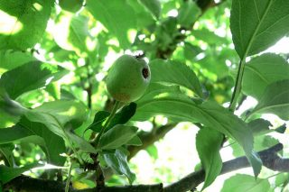 Recomendacións para o coidado das maceiras durante estes días
