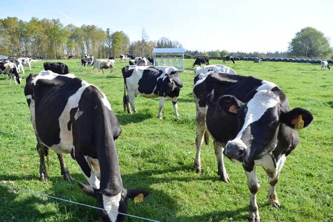Aspectos a mellorar na nutrición de vacún en ecolóxico