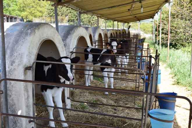 Pautas para lograr unha mellor recría en vacún de leite (I)